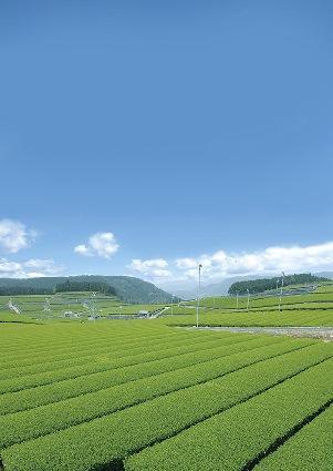 嬉野茶 茶畑.jpg