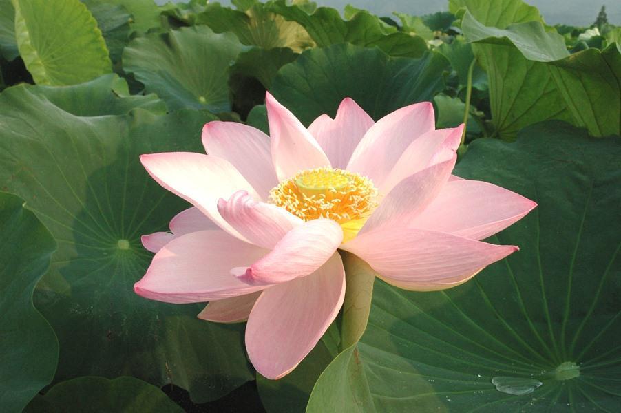 美しい れんこんの花.jpg