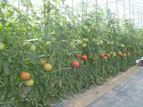 トマト圃場写真.JPG
